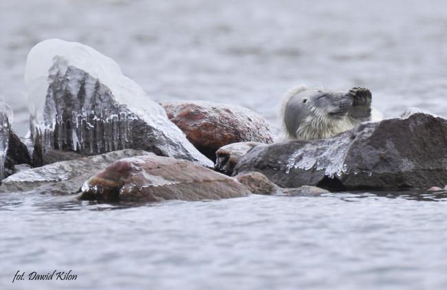 fot. To pierwsza foka na polskim brzegu/Dawid Kilon/WWF Polska